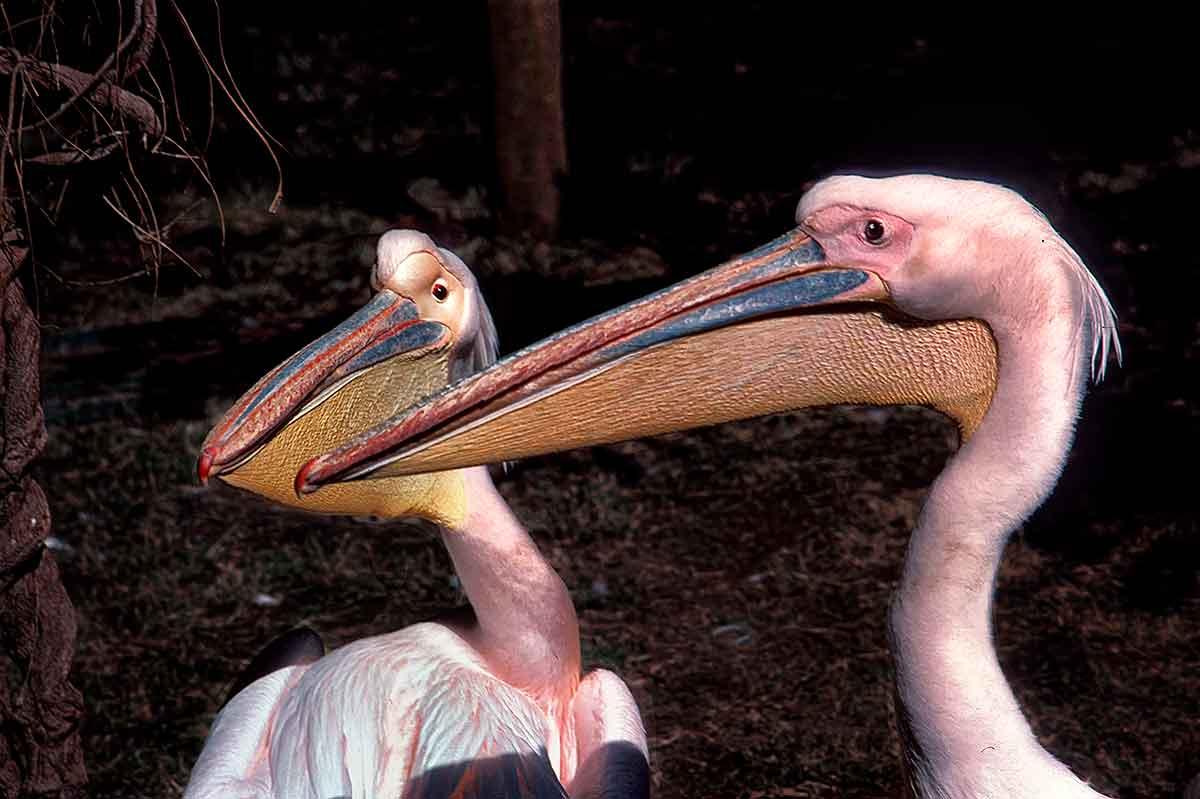 Pelicans - Cairo, Egypt    —-scan-jun05-1200