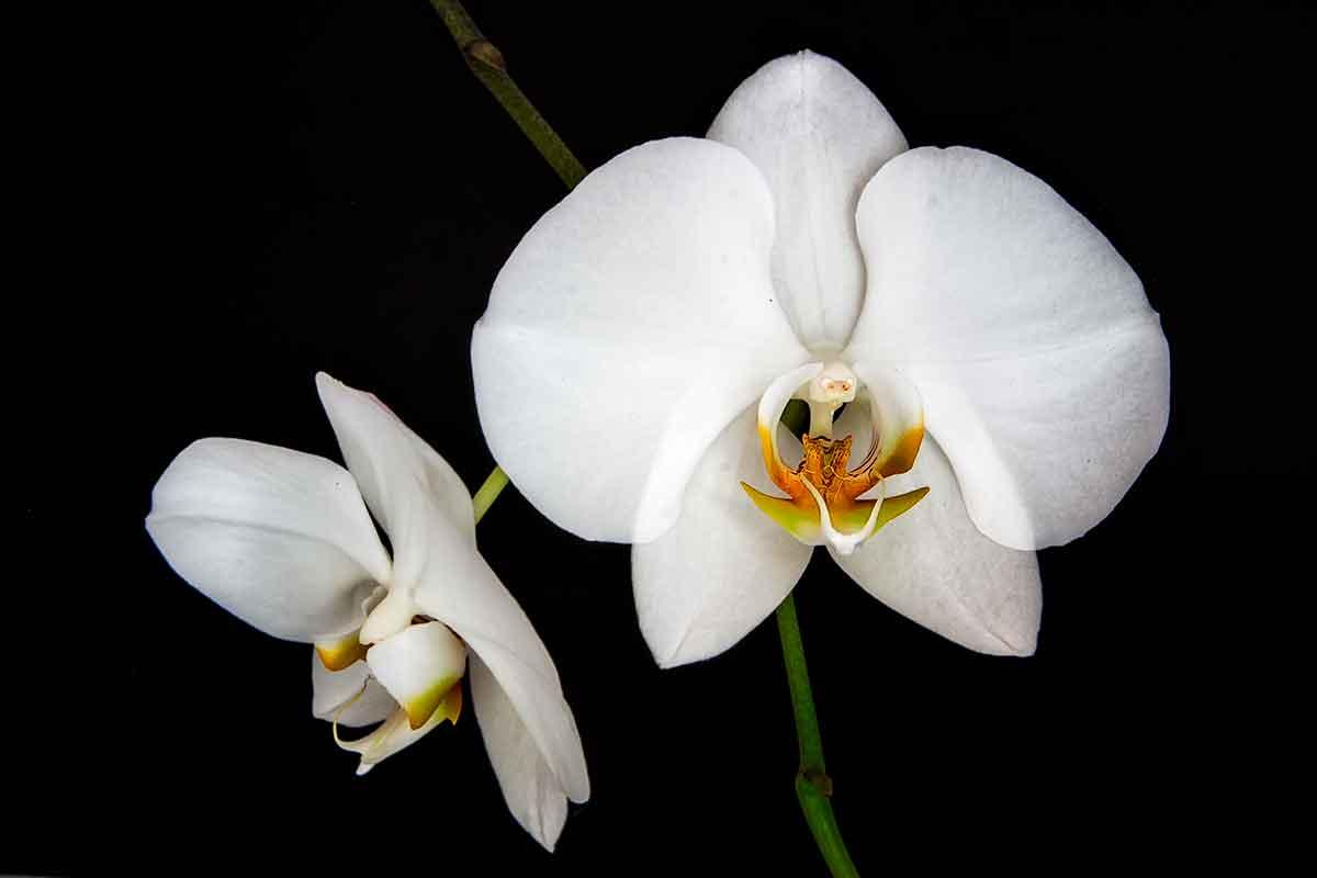 Orchid  CRW_0752-1200