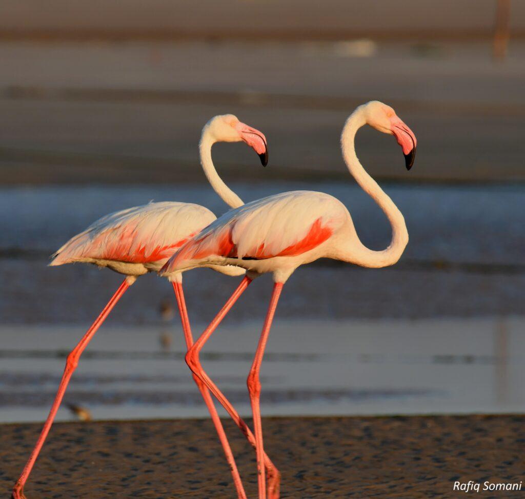 Flamingoes at Mothwa Beach, Mandvi