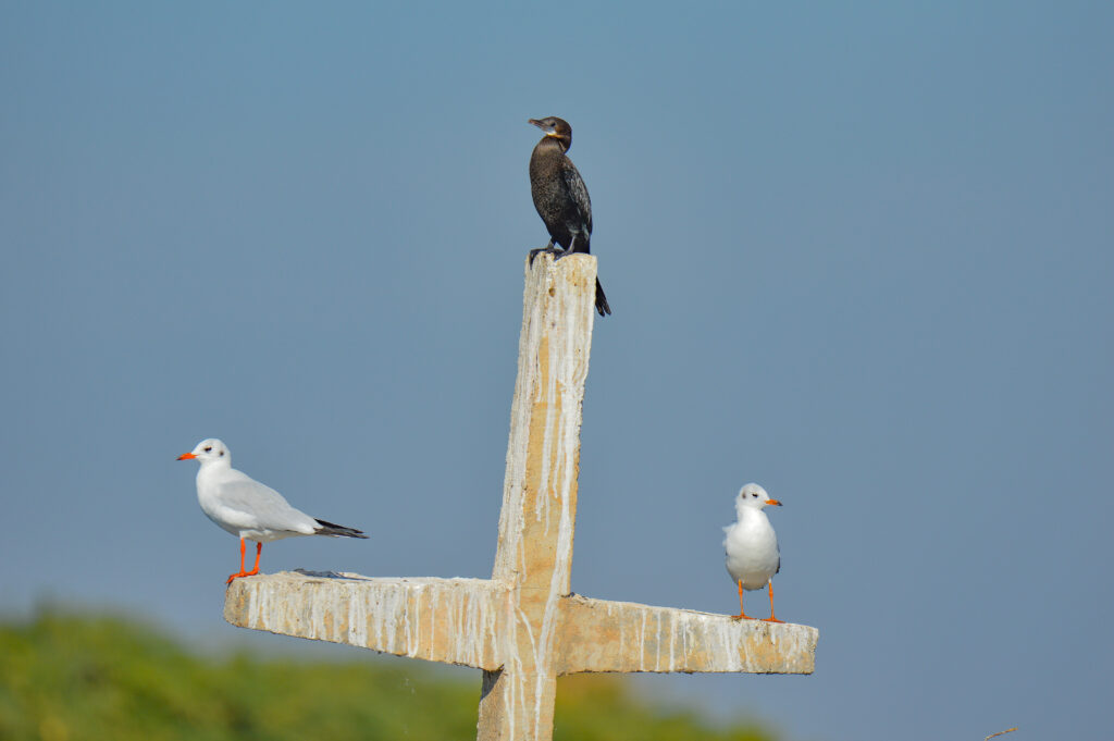 Black-headed Gull & Little Cormorant
