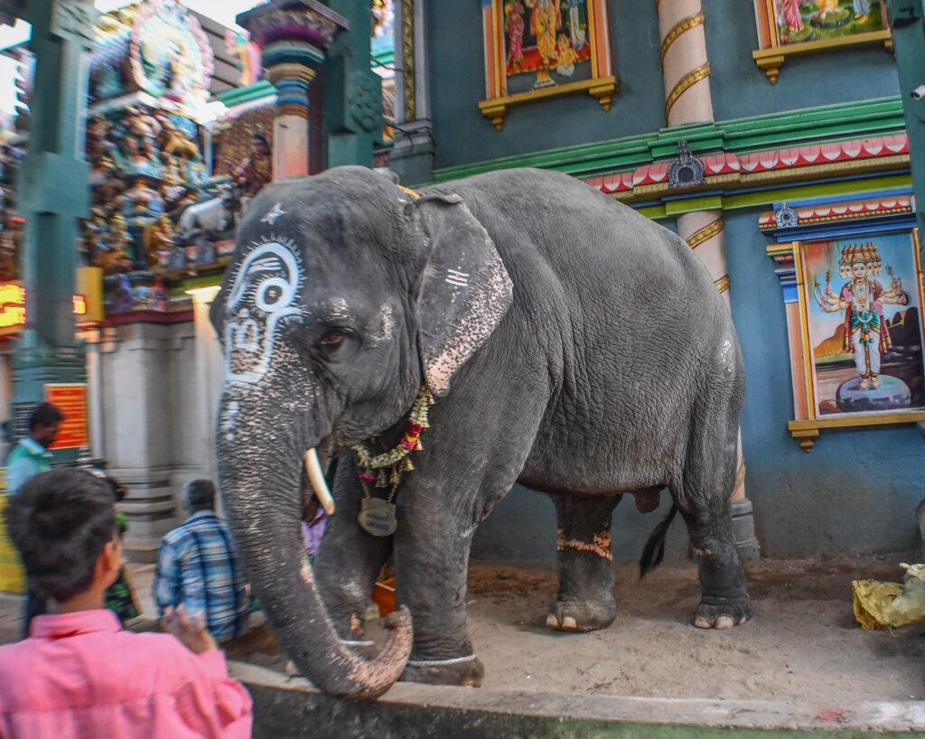 Elephant-Laxmi-at-Arulmigu-Temple-Pondicherry