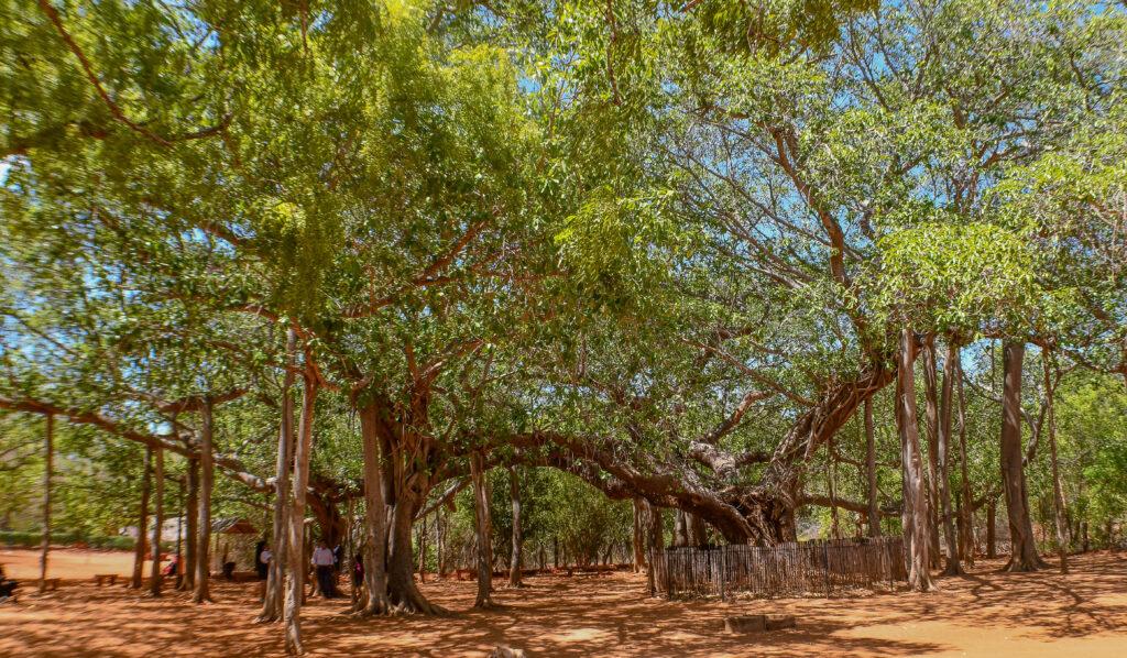Auroville-Banyan-Tree