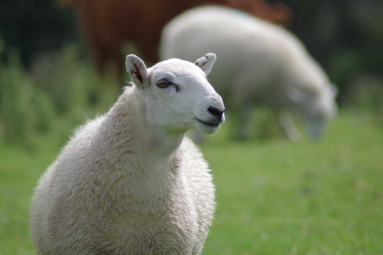 image of sheep wool in Harbor Springs Mattress Co. natural mattress