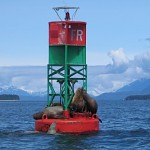 Sea lions jostle to be king of the hill