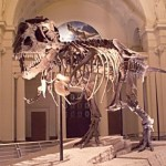 T-Rex Susie and other dinosaurs live at the Field Museum