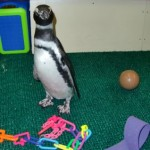 The penguins seemed more interested in their guests than their toys