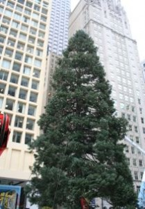 A 70 foot blue spruce from McHenry County now stands tall in Chicago's Daley Plaza