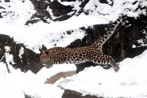 Visit Brookfield Zoo where some animals enjoy the snow. Photo by Jim Schultz