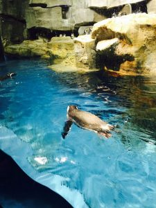 Penguins at the Shedd Aquarium. Jodie Jacobs photo