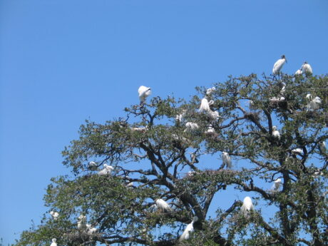 Birds flock to the Alligator Farm in St. Augustine ( J Jacobs photo)