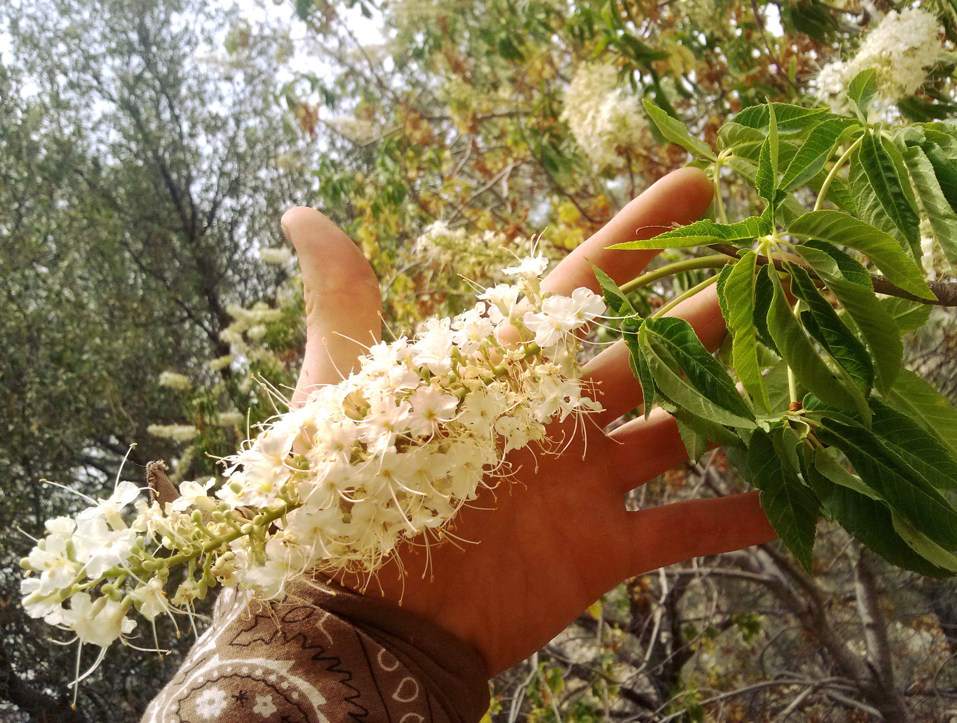 Buckeye flowers