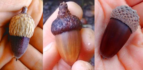 3 acorns