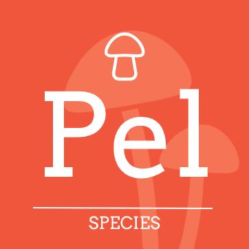 Psilocybe pelliculosa