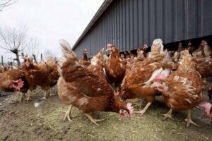 公鸡母鸡禽流感