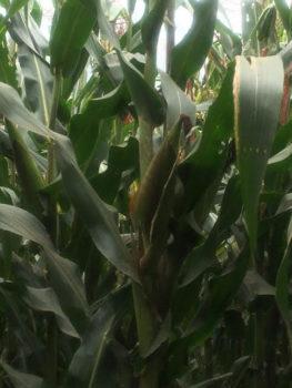 Maize 2
