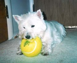 Scooter - Westiemed Recipient