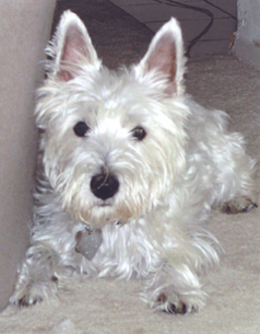 Willie - WestieMed Recipient
