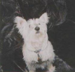 Minnie - WestieMed Recipient