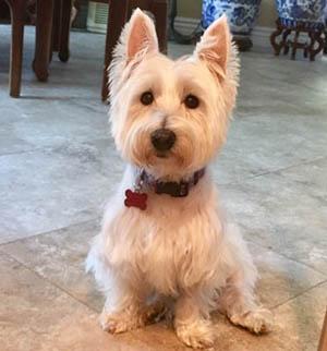 Missy - WestieMed Grant Recipient August 2018