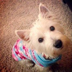 Daisy - WestieMed Grant Recipient December 2013