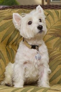 Lucy - WestieMed Recipient November 2010