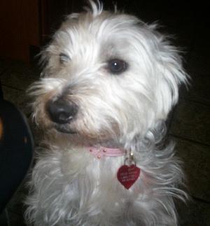 Lillie - WestieMed Recipient July 2008