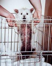 Angus - WestieMed Recipient June 2001