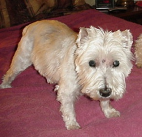 Mac - WestieMed Recipient December 2008
