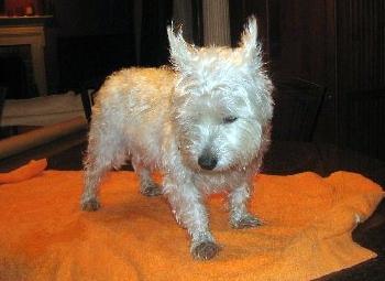 Maggie - WestieMed Recipient March 2008