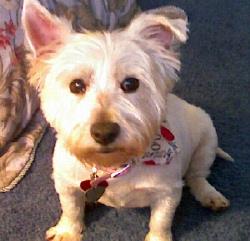 Millicent - WestieMed Recipient March 2008
