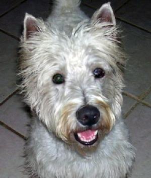 Westley - WestieMed Recipient December 2008
