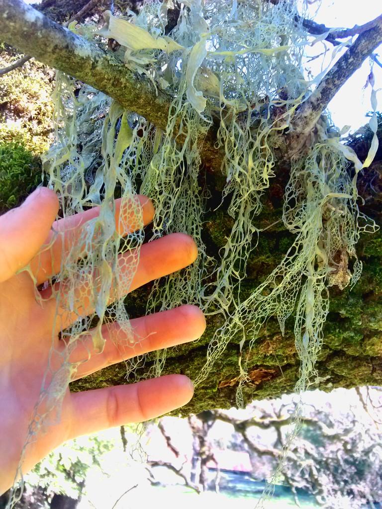 Ramalina menzesii, or Lace Lichen