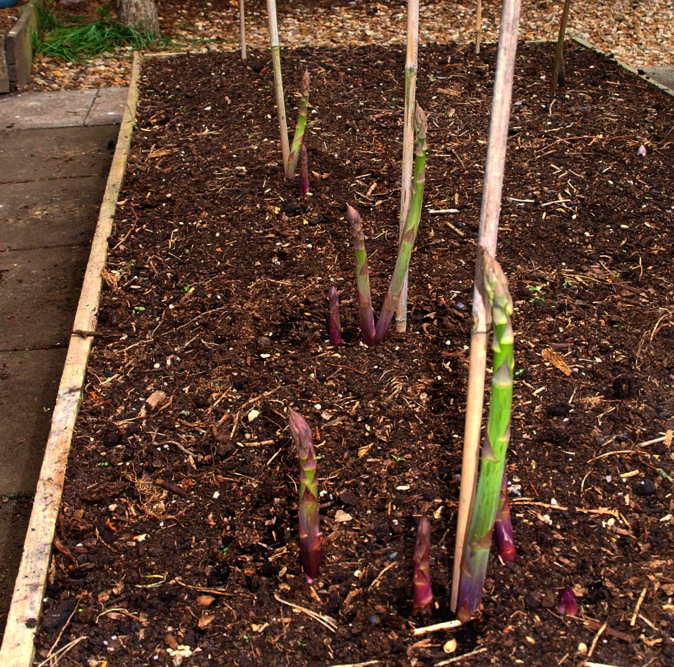 Asparagus in Raised Bed
