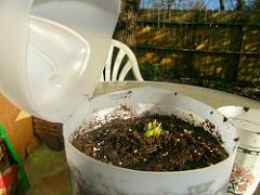 Celery planted