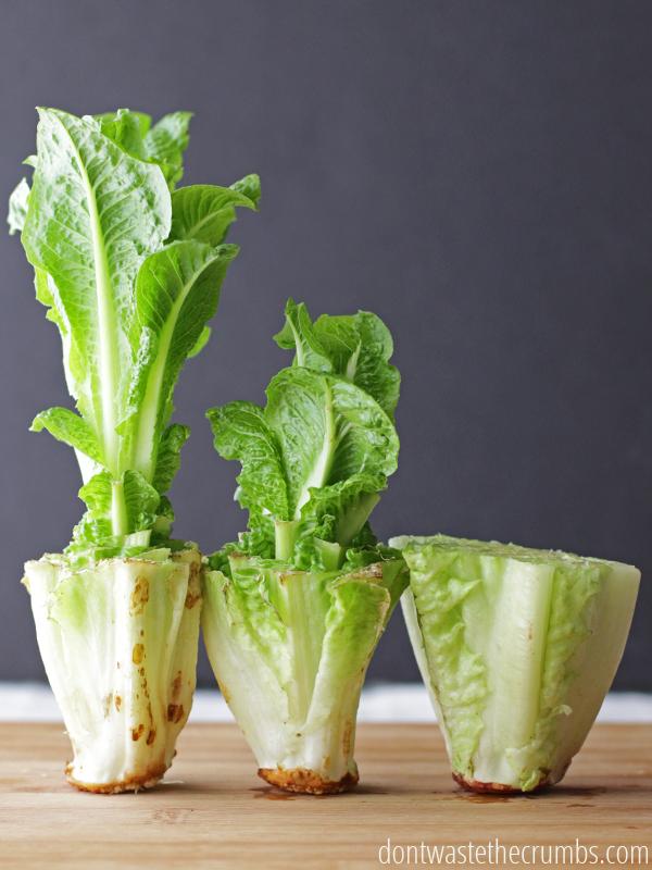 Re-Grow Lettuce