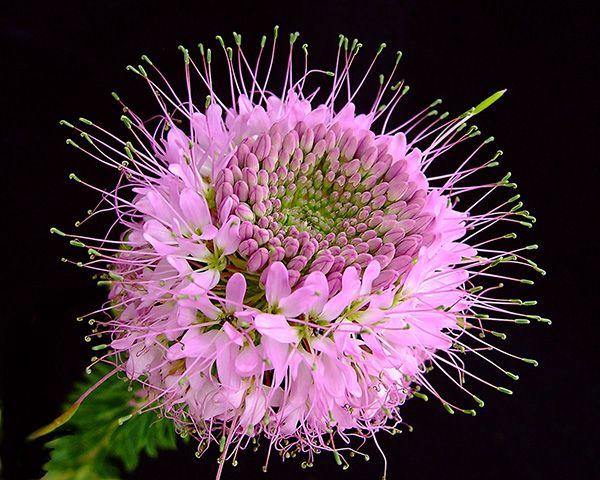 Rocky Mountain Bee Plant closeup