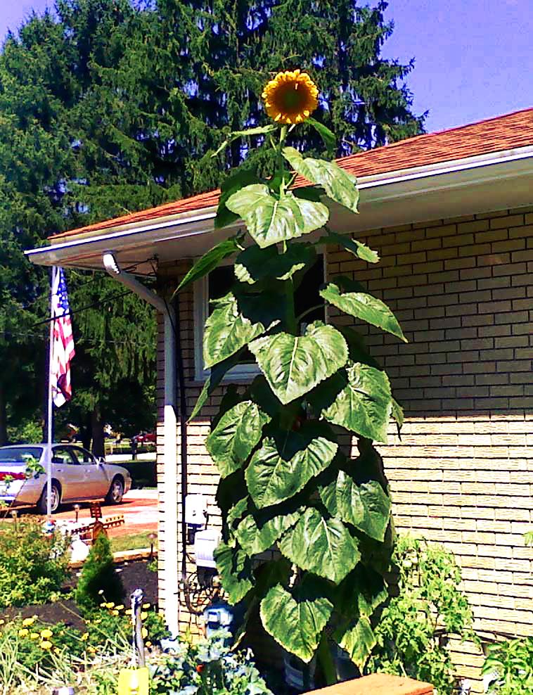 2 col for morilak sunflower