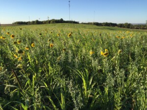 13-species cover crop on Eric's farm