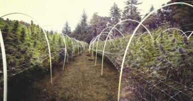 The Journey of Cannabis From Soil to Oil