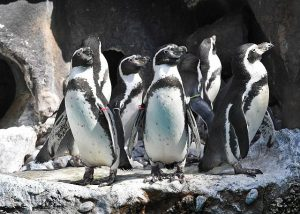 Penguin colony at Brookfield Zoo wear colored ID bands. Chicago Zoological Society photos