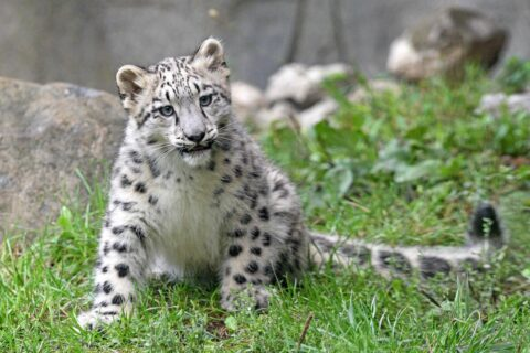 Snow leopard cub Ahava is among the residents of Brookfield Zoo in the Animal Adoption program. (Photo by Jim Schulz for the Chicago Zoological Society)