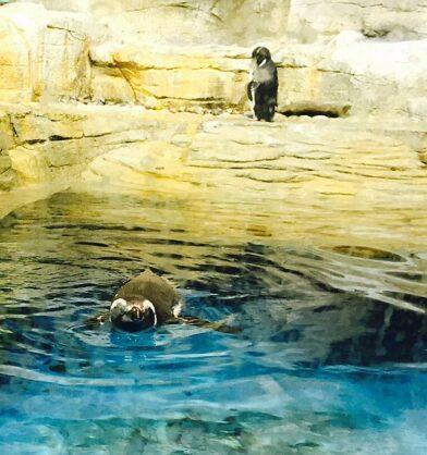 Shedd penguins (J Jacobs photo)