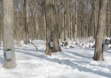 Tapping maple trees at Ryerson Woods (Photo courtesy of Lake county Forest Preserves)