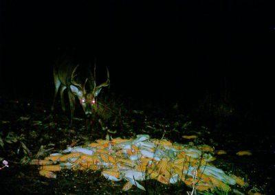 deer-corn