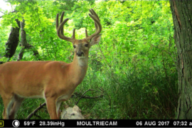 Whitetail Deer Trail Cam