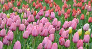 Easter Stories and Other Religious stories - Tulips in Spring