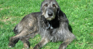 Irish Wolfhound on grassy slope