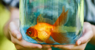 carrying gold fish bowl