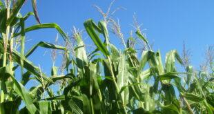 corn stalks growing in the field
