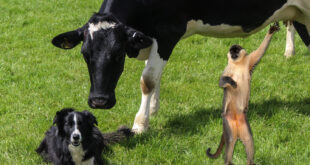 a dog, a cow and a monkey